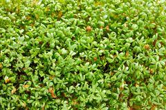 Fresh green cress salad sprouts, growing watercress salad. For healthy food Royalty Free Stock Images