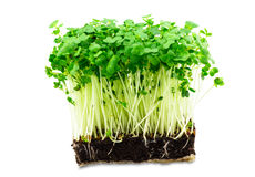 Fresh green cress salad on the white background. Fresh green cress on the white background Royalty Free Stock Images