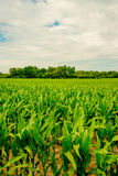 Fresh green crops Royalty Free Stock Photos