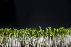 Fresh green cuckooflower plain background. royalty free stock image