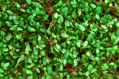 Fresh green cuckooflower plain background. stock photos