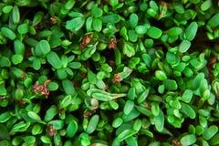 Fresh green cuckooflower plain background. stock image