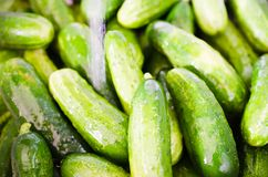 Fresh green cucumbers washed by water. Ecological Vegetables stock image