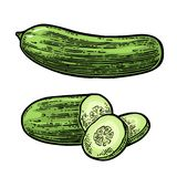 Fresh green cucumbers - whole, half, slices. Isolated on the white background. Vector color hand drawn vintage engraving illustration for poster, label, menu royalty free illustration