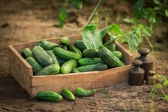 Fresh and green cucumbers in wooden box. In summer Stock Photography