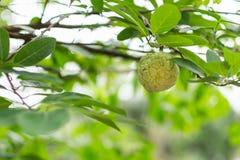 A fresh green custard apple royalty free stock image