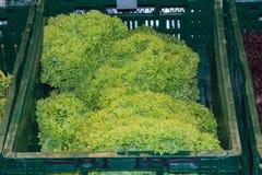 Fresh green cutalate Royalty Free Stock Photo