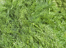 Fresh green dill background Stock Photos