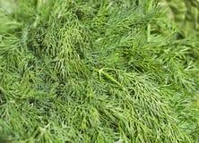 Fresh green dill background Stock Photos