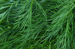Fresh green dill Royalty Free Stock Photography