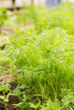 Fresh green dill Stock Photos
