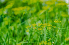 Fresh green dill grows in the garden in the summer Royalty Free Stock Image