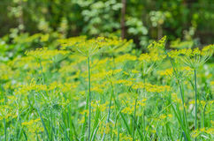 Fresh green dill grows in the garden in the summer Stock Photo