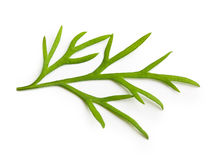 Fresh green dill isolated. On white background Stock Images