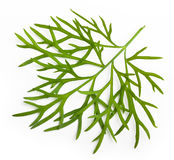 Fresh green dill isolated. On white background Royalty Free Stock Photography