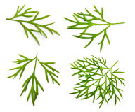 Fresh green dill isolated. On white background Stock Photography