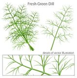 Fresh and green dill. Green fresh dill. Vector illustration Stock Photo