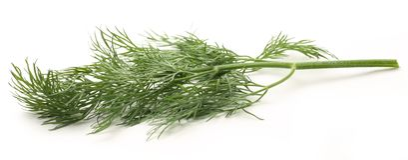 Fresh green dill Stock Photography