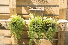 Fresh green Dischidia nummularia plant Royalty Free Stock Photos