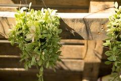 Fresh green Dischidia nummularia plant Stock Photo