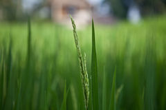 Fresh green ear of rice in paddy rice field. Close up. Bali, Indonesia Royalty Free Stock Photos