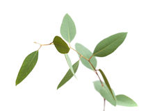 Fresh green eucalyptus, young branch Royalty Free Stock Photography