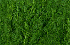 Fresh green fennel background Stock Image