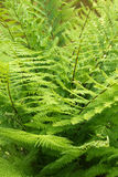Fresh green fern Royalty Free Stock Photos