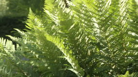 Fresh green fern stock video footage