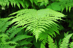 Fresh green fern frond Stock Photo