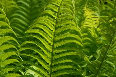 Fresh, green fern fronds, full frame royalty free stock images