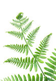 Fresh green fern leaf isolated on white Stock Photography