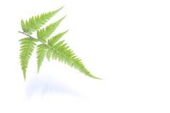 Fresh green fern leaf on white Stock Image