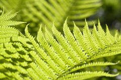 Fresh green fern leafs Royalty Free Stock Photos