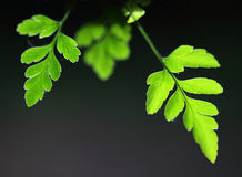 Fresh green fern leaves Stock Photo