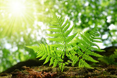 Fresh green fern leaves Royalty Free Stock Images