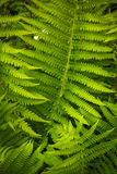 Fresh green fern leaves (Dryópteris, Dryopteridaceae) Stock Photography