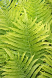 Fresh green fern leaves Royalty Free Stock Image