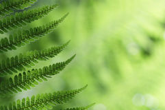 Fresh green fern leaves in the forest Stock Image