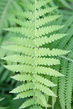 Fresh green fern leaves in the forest background Stock Photo