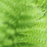 Fresh green fern leaves in the forest Stock Photography