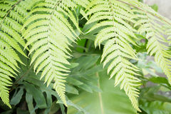Fresh green fern leaves in garden Royalty Free Stock Images
