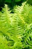 Fresh green fern leaves Stock Photos