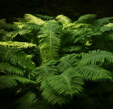 Fresh green fern Stock Image