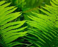 Fresh green fern leaves Stock Images