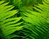 Fresh green fern leaves Royalty Free Stock Image