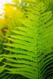 Fresh green fern leaves Royalty Free Stock Photos