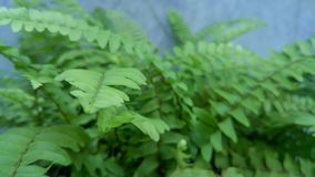 Fresh green fern leaves on the pot. stock images