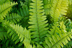 Fresh green fern leaves after the rain Stock Photo