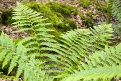 Fresh green fern leaves Royalty Free Stock Photo